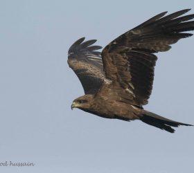 black_kite