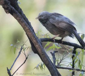 common_babbler