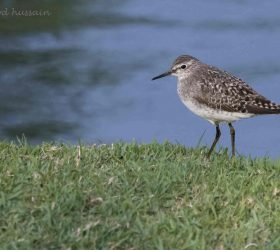 common_sandpiper