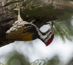 flameback_woodpecker