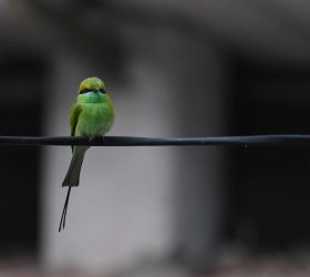 green_bee_eater