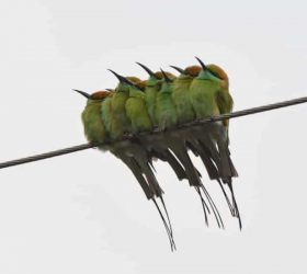 green_bee_eaters__sr_ij60l