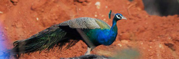 peacock_prashansa