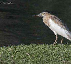 pond_heron