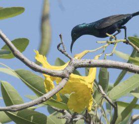 purple_sunbird