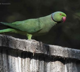 ring_necked_parakeet