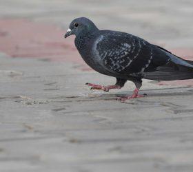 rock_pigeon_srinidhi